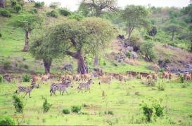ruaha-deer-zebras_1_1.jpg
