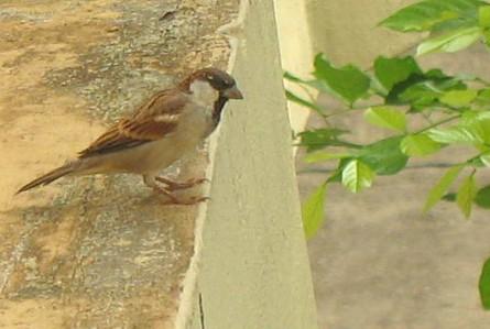 sparrow3.jpg