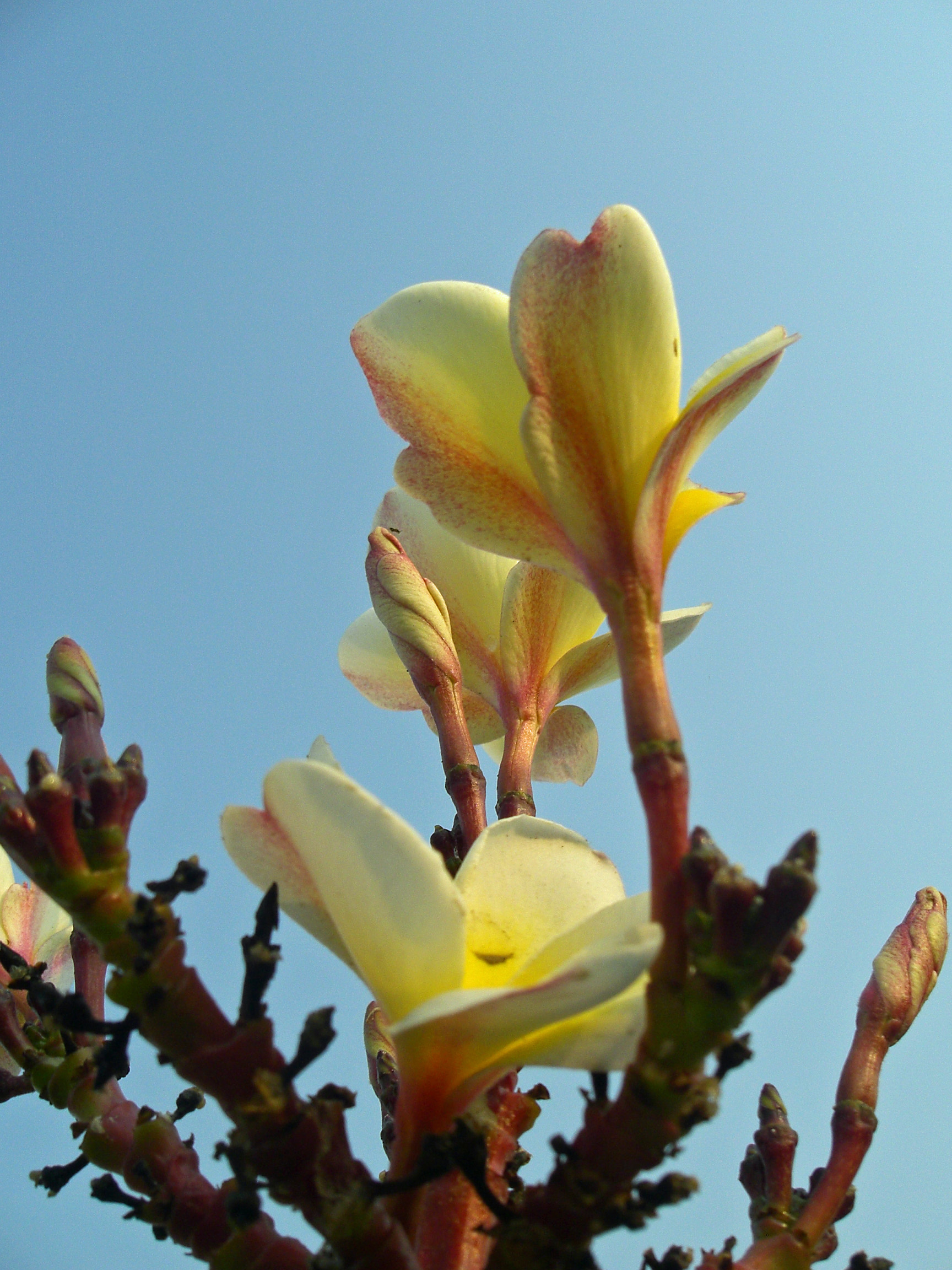 Yellow Plumeria flowers with buds